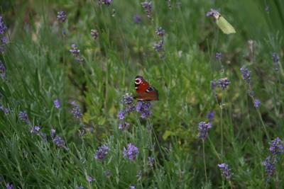 48 butterfly Vreta