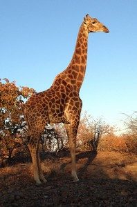 giraffe-at-dawn-rot-ed
